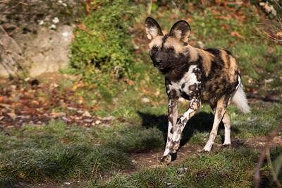 Africanis, Boerboel & Co.: Die Geschichte der Hunde Afrikas Ratgeber Bild mittig-oben fotolia.com; © Cloudtail
